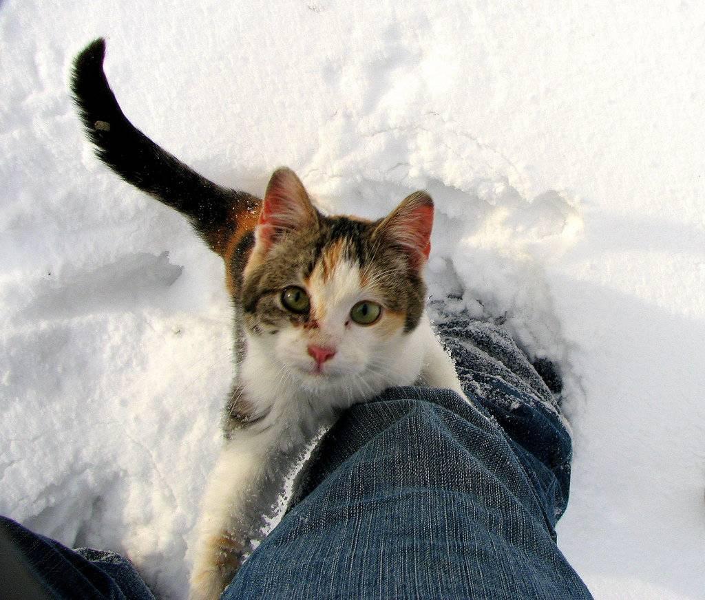 При какой температуре кошки могут жить на улице: какие породы не переносят холода. мерзнут ли кошки зимой? коты зимой