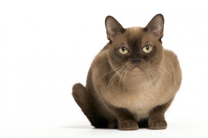Бурманская кошка — необычная порода с красивым окрасом. смотрите в обзоре фото, характер, здоровье, уход за кошкой, питание