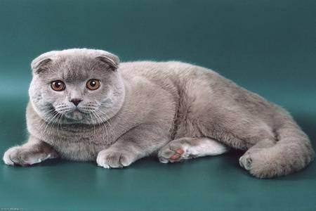 Сколько живут шотландские вислоухие кошки? средняя продолжительность жизни котов. что влияет на здоровье скоттиш-фолдов? сколько лет живут кастрированные шотландцы?