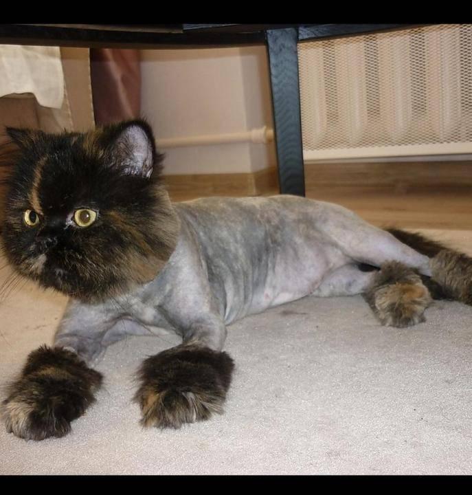 Как выбрать стрижку для кошки и подстричь питомца