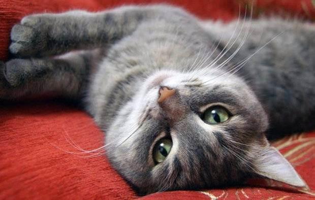 Авитаминоз у кошек: симптомы, причины, лечение и фото