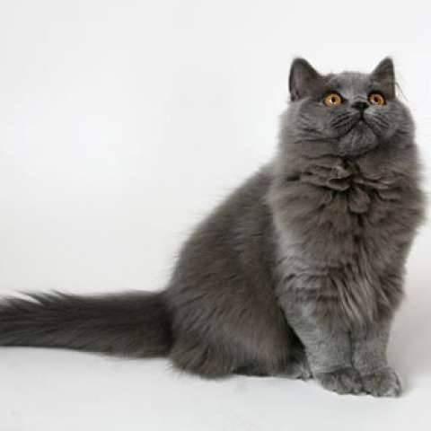 Британская длинношерстная кошка (41 фото): описание пушистых котов британцев, особенности характера котят британской породы