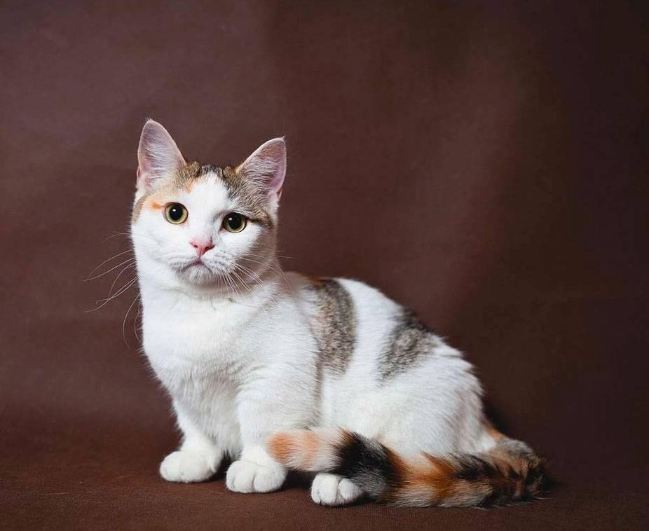 Порода кошек манчкин, фото, содержание и уход