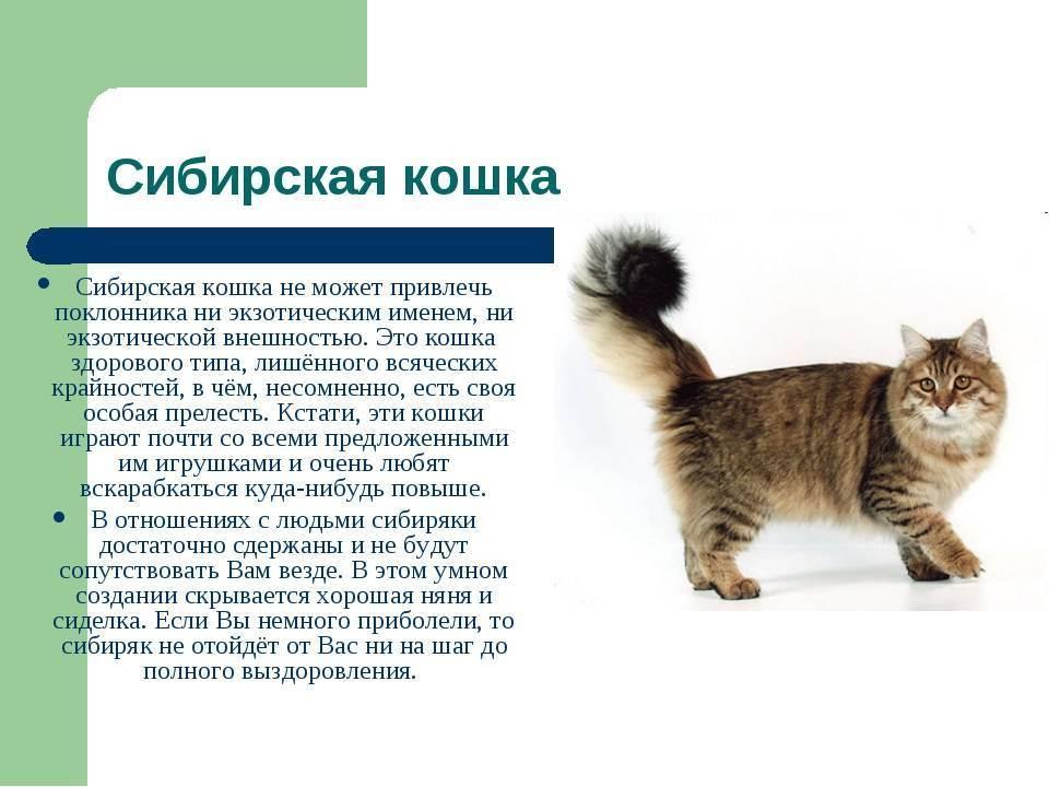 Охос азулес — описание породы кошек