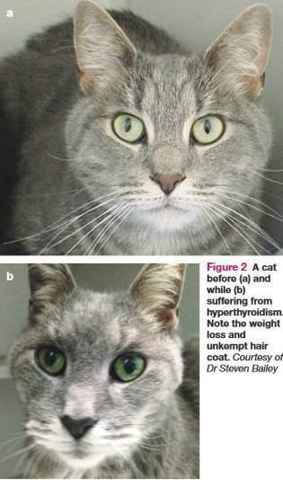 Хирургическое лечение гипертиреоза у кошек