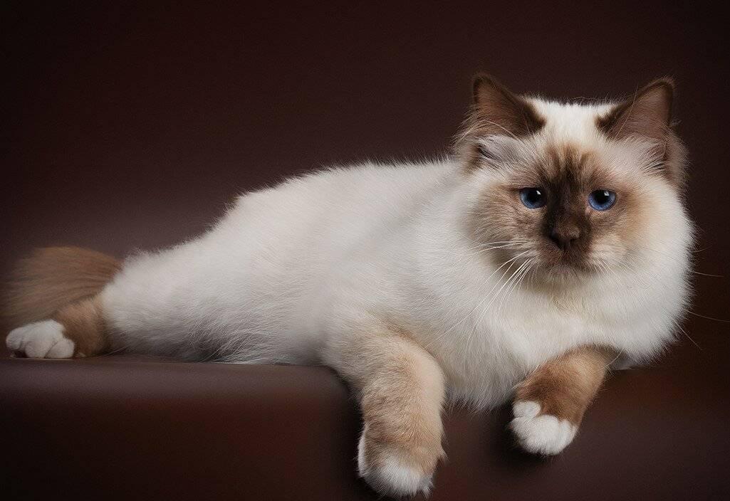 Бирманские кошки - фото и описание (характер, уход и кормление)