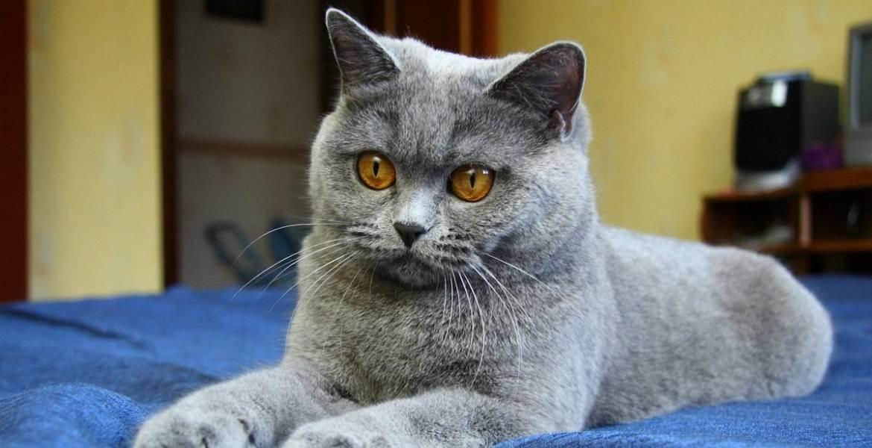Особенности, характер и содержание британских кошек черного окраса