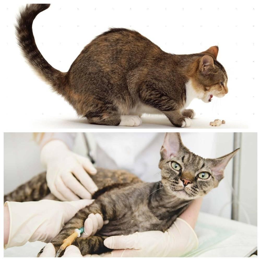Как лечить чумку у кошек в домашних условиях: симптомы и признаки