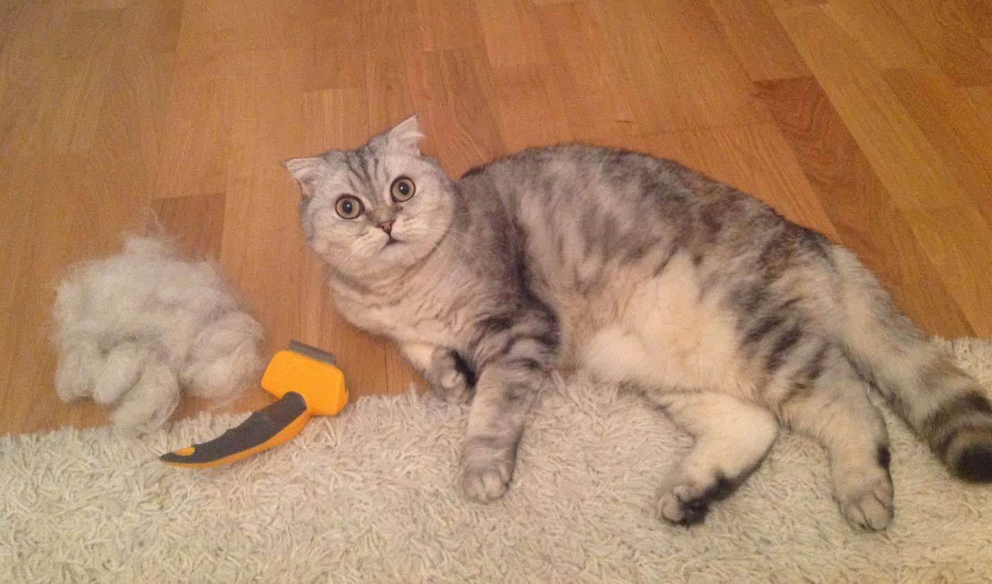 Особенности кошачьей линьки: когда она бывает у котят в первый раз, сколько времени длится, как часто кошки линяют?