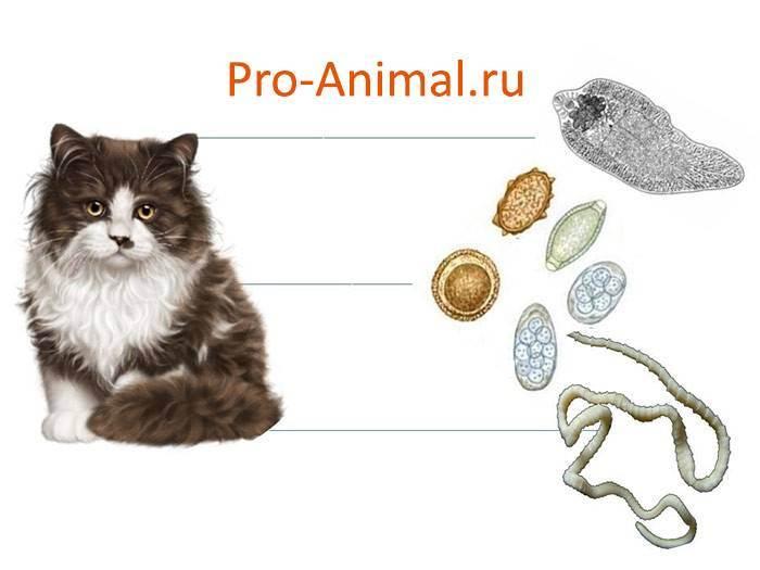 Глисты у кошек: виды, фото, локализация