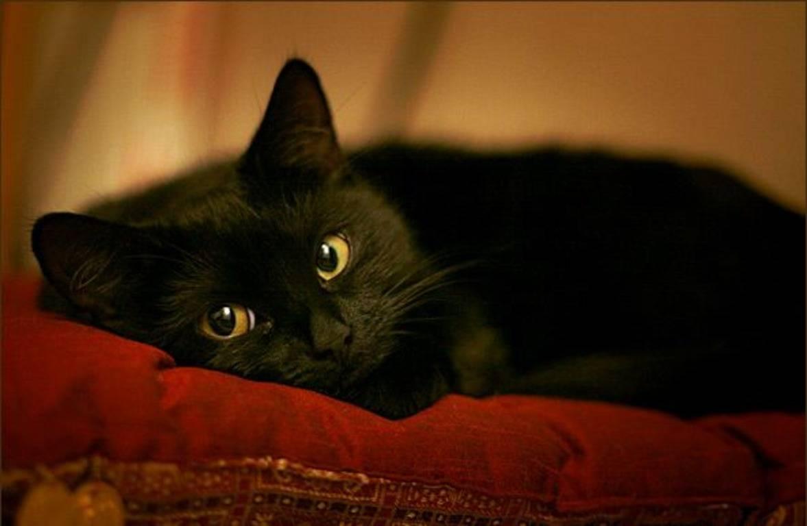 Чёрный кот, кошка в доме: приметы и суеверия - когда стали поклоняться кошке?