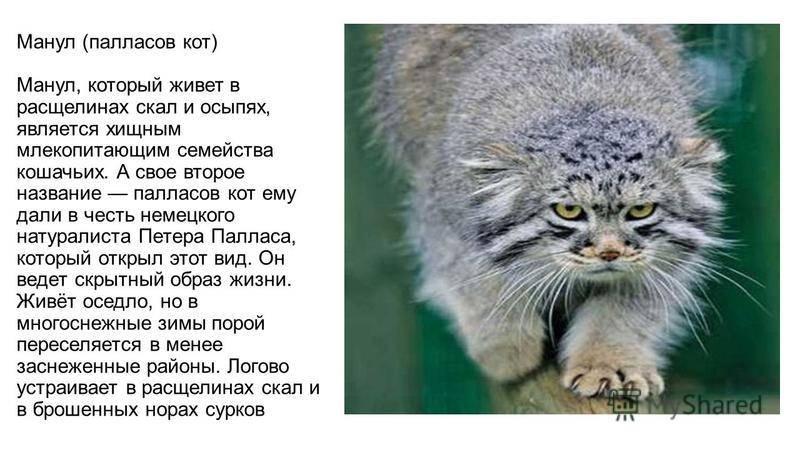 Манул: фото и описание дикой кошки, особенности питания, среда обитания
