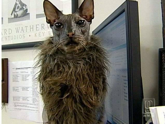 Кошки-химеры: как они выглядят, достоинства и недостатки