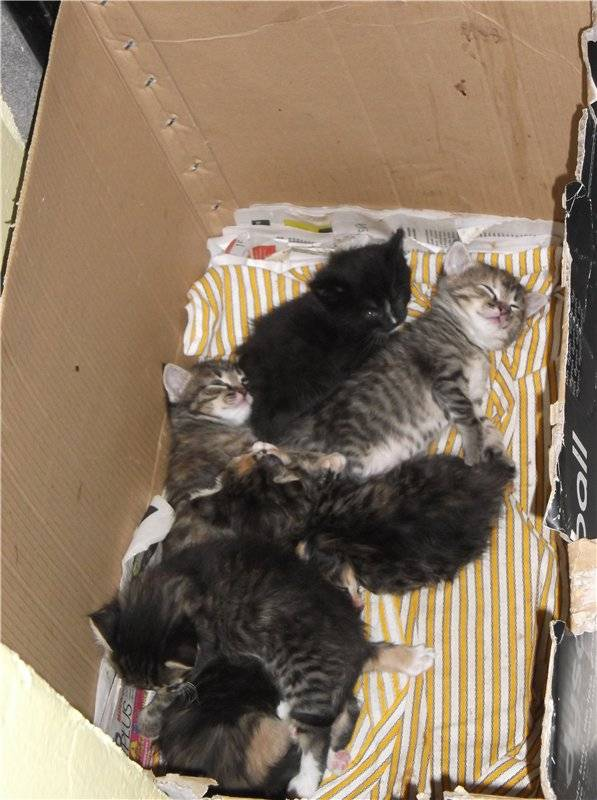 Когда котята начинают ходить, слышать и видеть: развитие после рождения по дням, неделям и месяцам