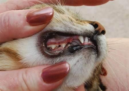 Зубной камень у кошек, фото - ситивет, спб