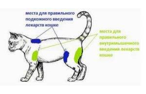 Как сделать укол кошке в холку и внутримышечно в домашних условиях – техника процедуры