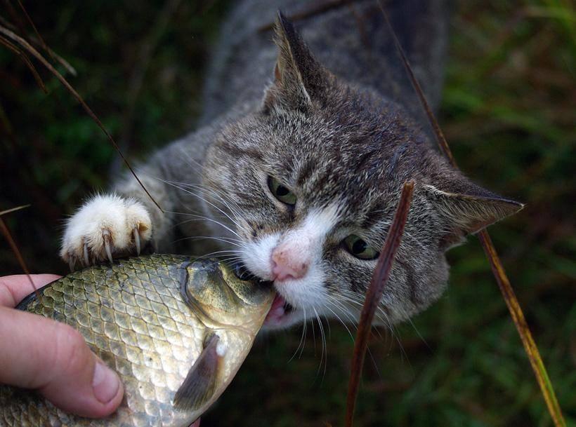 Какую рыбу можно давать кошкам?