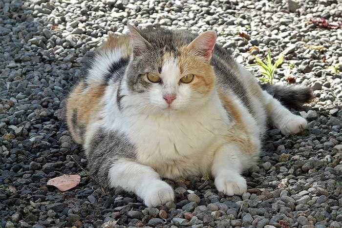 О потребности в калориях: как помочь кошке похудеть, заставить двигаться