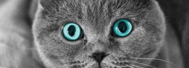 Как часто течка у кошек шотландских