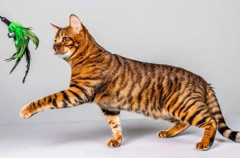 Тойгер кошка: фото и описание породы, характер животного, особенности содержания