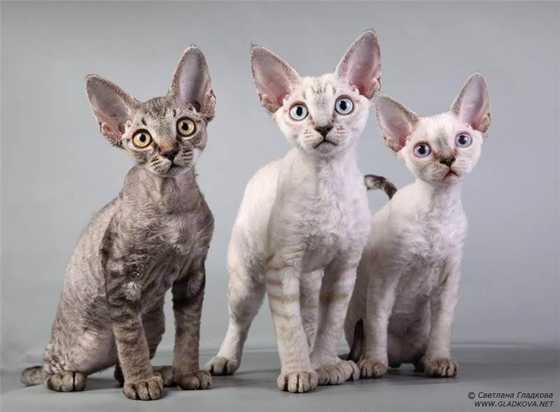 Рейтинг самых редких пород кошек - топ 10