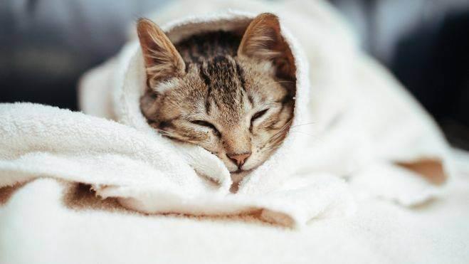 Чем помыть кота, если нет специального шампуня?