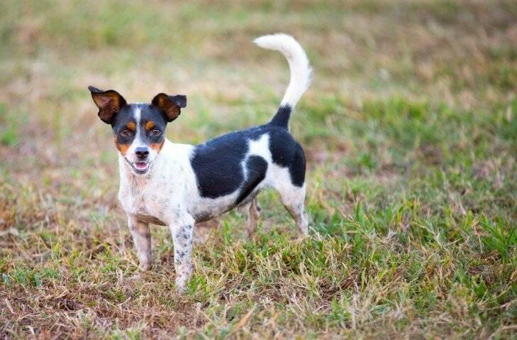 Породы собак-крысоловов. может ли овчарка ловить крыс собака выведенная для ловли крыс 6 букв