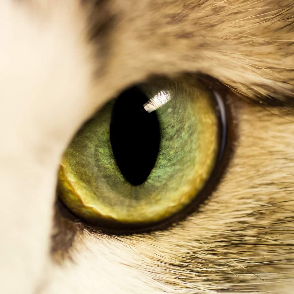 Глаза цвета янтаря: у каких пород кошек встречаются желтые глаза?