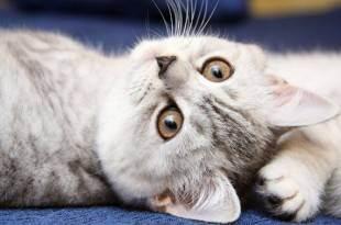 Признаки течки у кошки и что должен делать хозяин в этот период? инстинкт продолжения рода, или cексуальные кошачьи проблемы