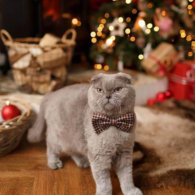 Почему шотландский котенок храпит. ваша кошка храпит? первые признаки заболеваний