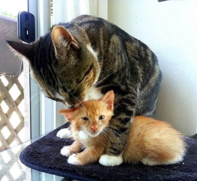 Почему кошка шипит на котенка?