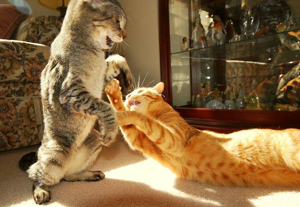 Если вы завели вторую кошку - как познакомить и подружить кошек » женский мир