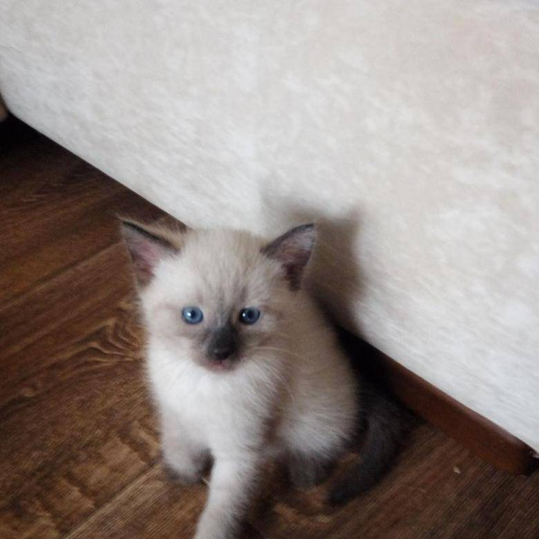 Сколько стоит сиамский котенок - цены по классам