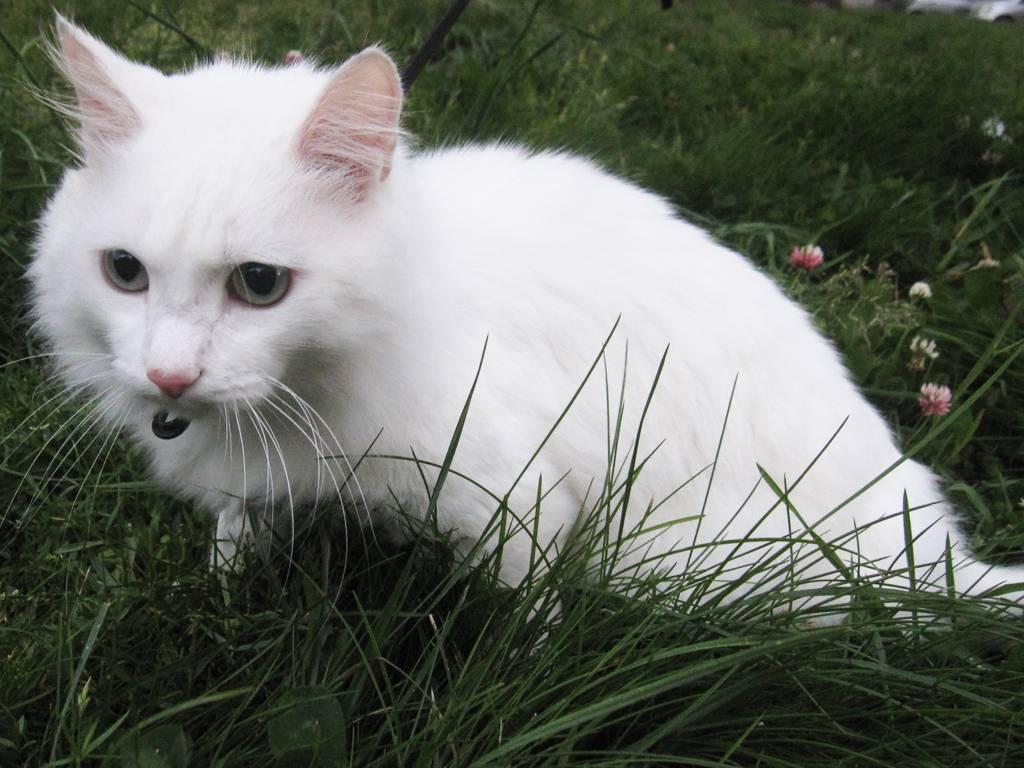 Белая кошка с разными глазами: феномен особой породы, виды