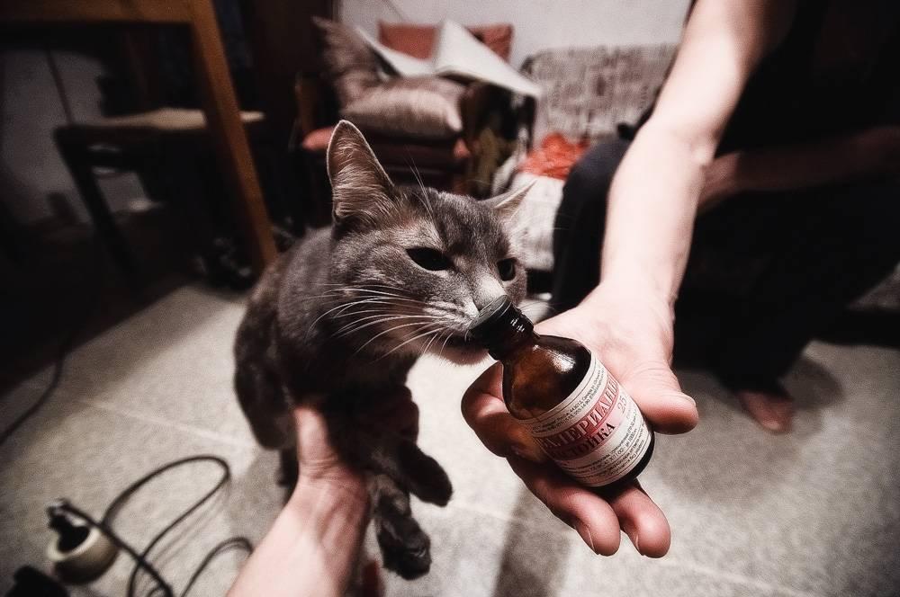 Кошки и как действует на них валериана, она же валерьянка