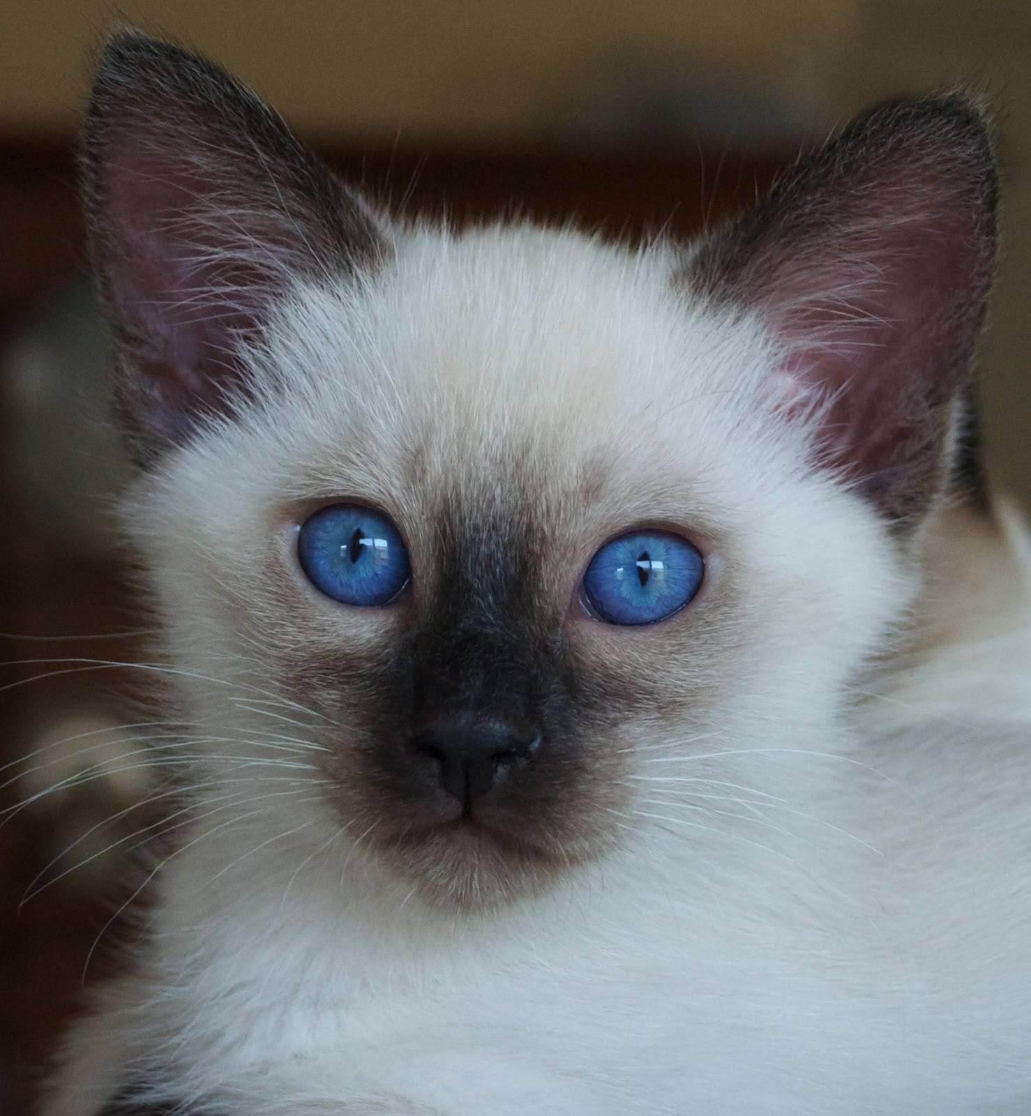 Балинезийская кошка: 125 фото подробного описания породы и особенности выбора котенка