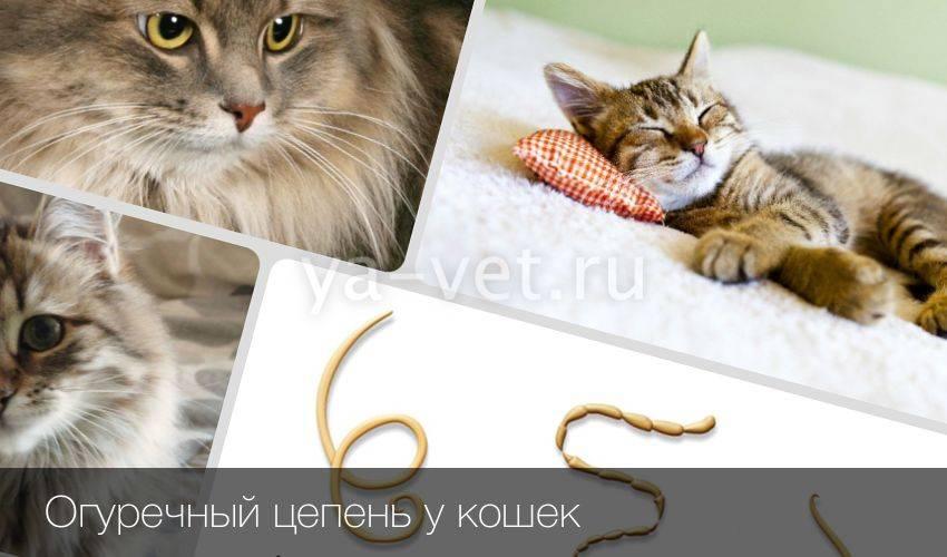 Огуречный цепень у кошек: что это, симптомы и лечение
