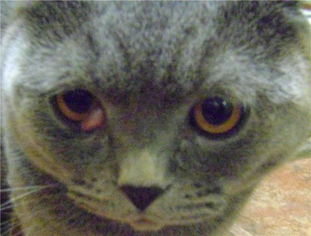 Какого цвета глаза у британских кошек? - питомник элитных британских кошек, котят elite british