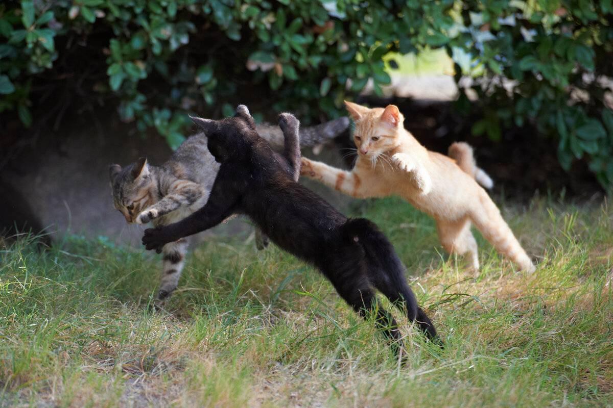 Кошачьи драки или о том, как помирить кошек