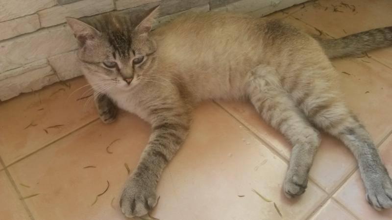 Опухоль у кошки на лапе: виды опухолей, на передних или задних лапах, между пальцами, на суставе, чем опасны, методы лечения