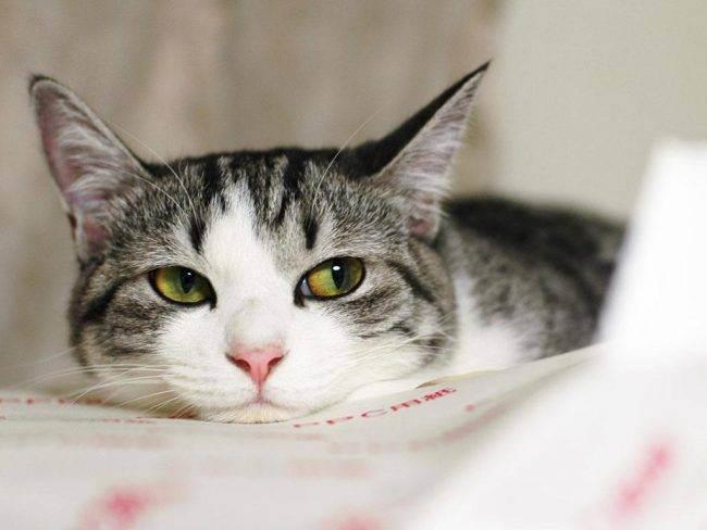 Когда начинается первая течка у кошек? сколько длится и особенности