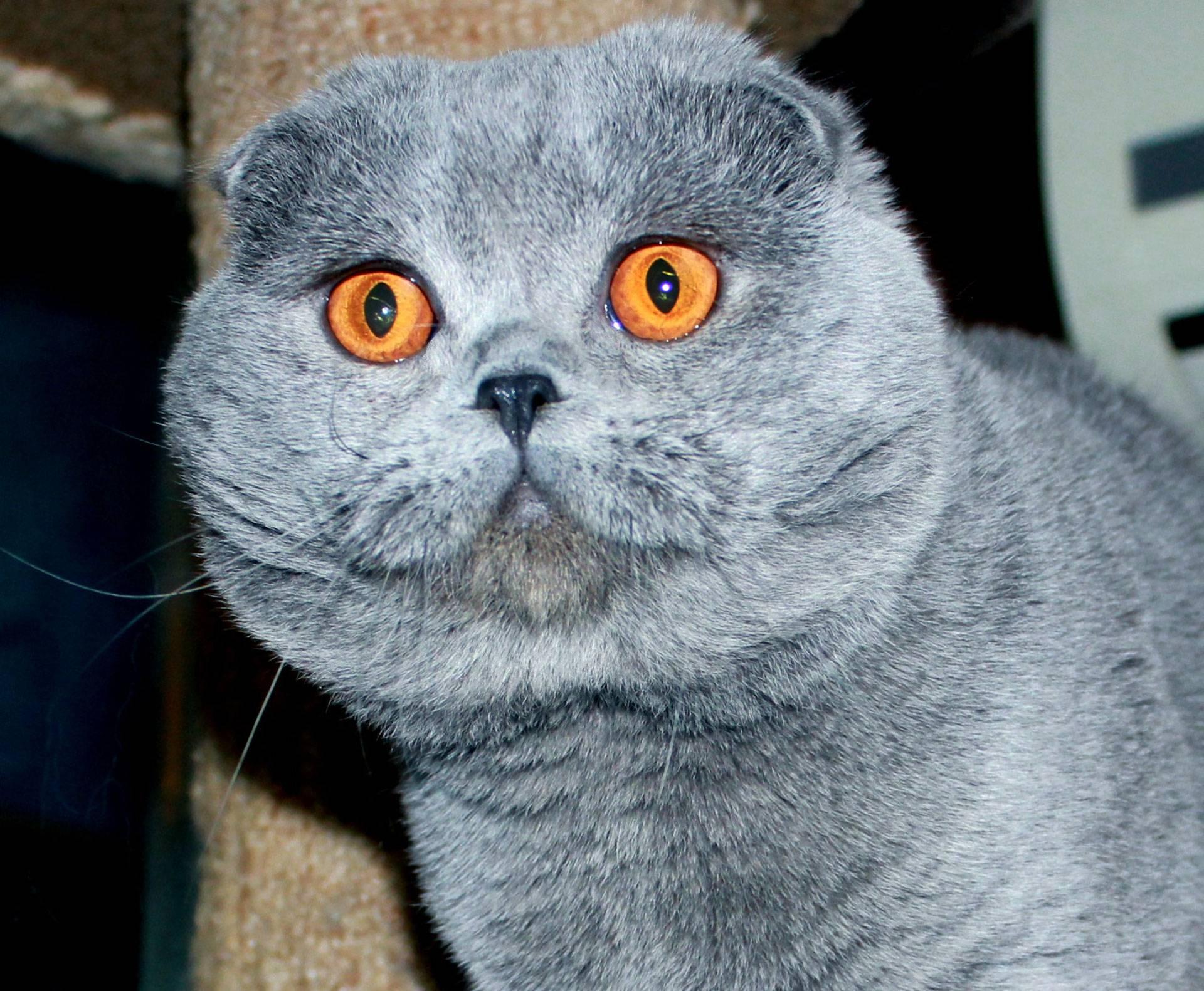 Британская и шотландская кошка: найди десять отличий | рутвет - найдёт ответ!