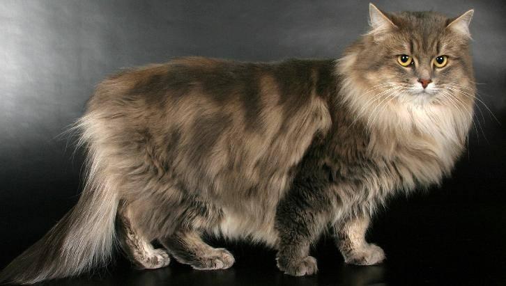 Длинношерстные кошки: породы с фото и описанием длинношерстные кошки: породы с фото и описанием