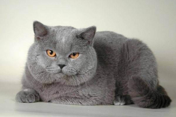 Корм для кастрированных котов — британцев: правильное питание. как правильно организовать кормление кастрированного кота