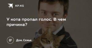 У кота охрип голос причины и лечение - муркин дом