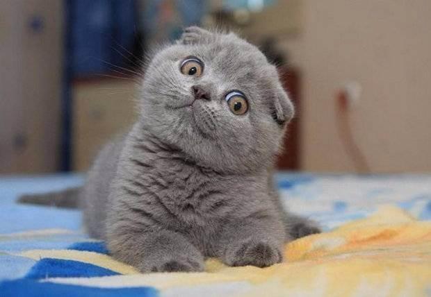 Шотландская вислоухая кошка скоттиш фолд – описание породы