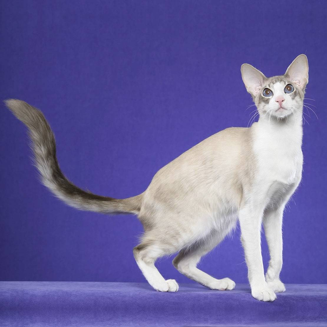 Породы кошек — циклопедия