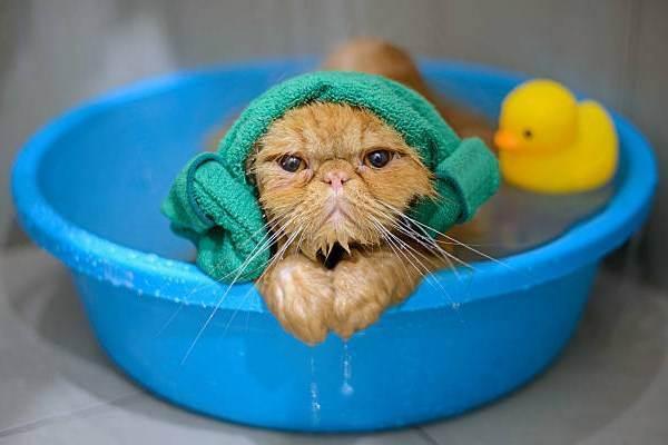 Узнайте как купать кошку если она боится воды? при какой температуре и в какой воде мыть?