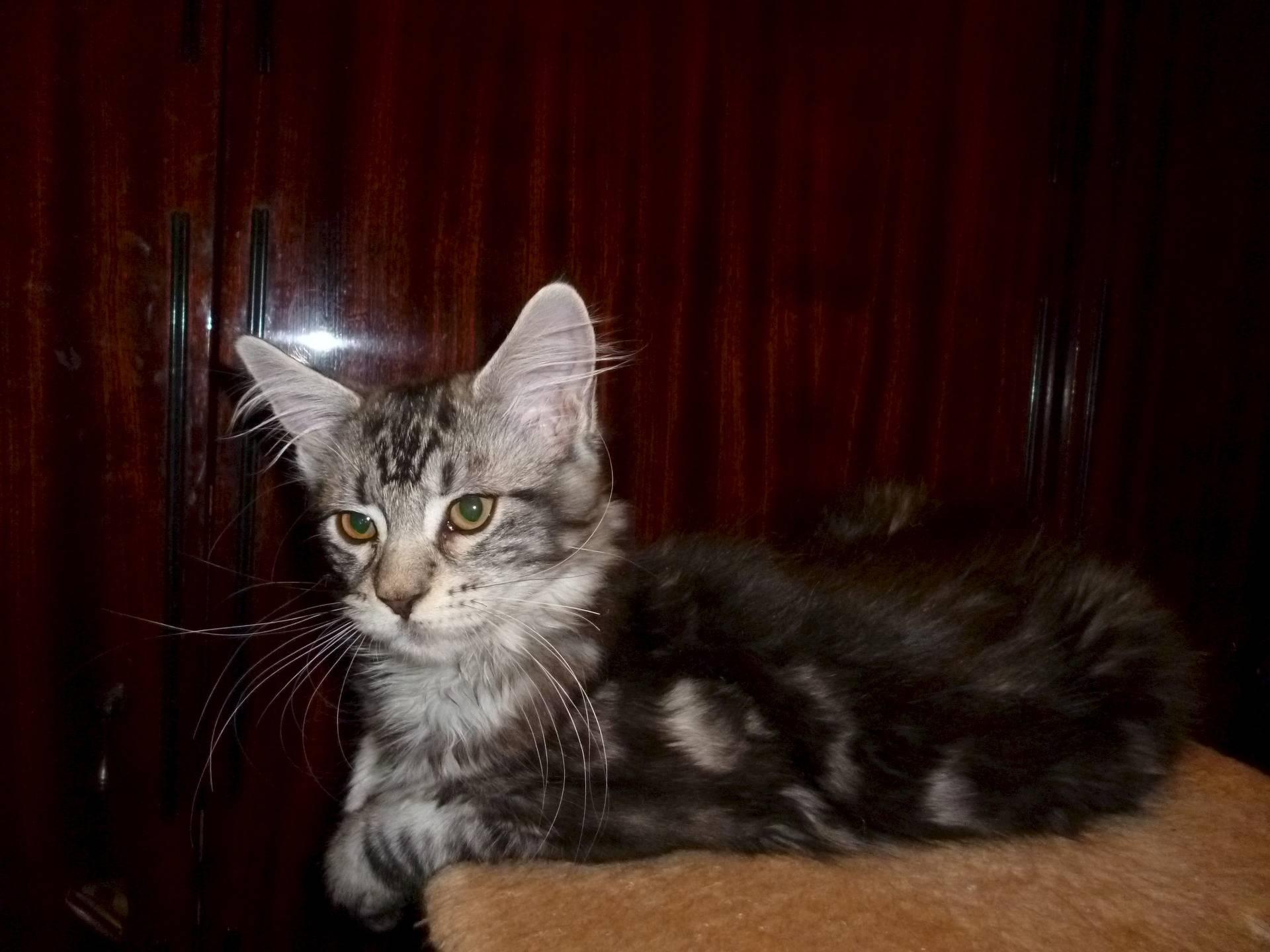 Мейн кун кошки уход и содержание - муркин дом