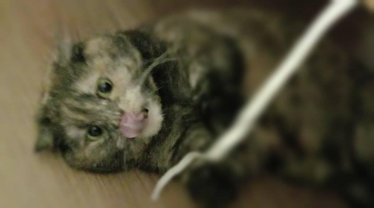 6 причин, почему кот или кошка облизывается и сглатывает: причины, что делать